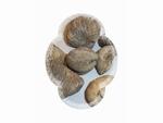 Fossiles escargot