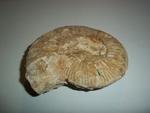 Ammonite géante